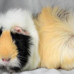 Benbrook, TX - Guinea Pig  Meet Three Guinea Pig Brothers a Pet for