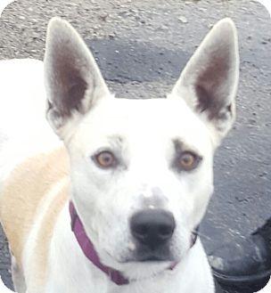 German Shepherd Dog Mix Dog for adoption in Monroe, Michigan - Pan