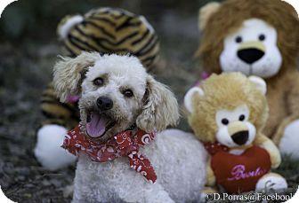 Kamloops Bc Miniature Poodle Meet Rico A Pet For Adoption