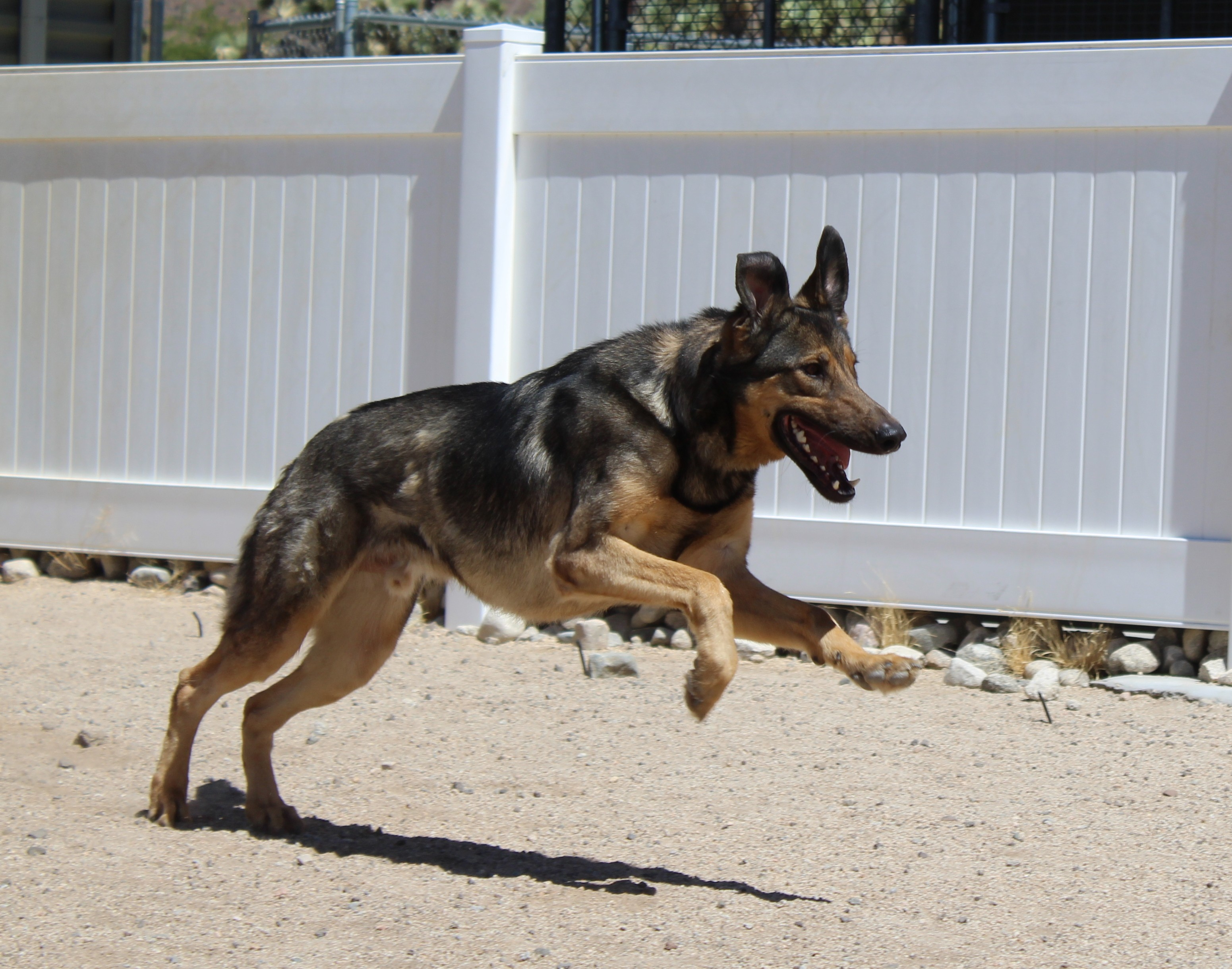 Husky puppies for sale yucca valley - Yucca Valley Ca German Shepherd Dog Meet Lake Twilight Cruise A Dog For Adoption