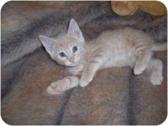 Exotic Kitten for adoption in Taylor Mill, Kentucky - Itsy-DECLAWED