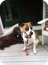 Hound (Unknown Type) Mix Dog for adoption in Cranston, Rhode Island - BOWDEN