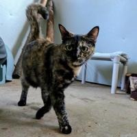 Adopt A Pet :: Aunistee - New Freedom, PA