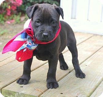 Groton Ma Labrador Retriever Meet Lulu A Pet For Adoption