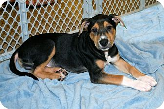 Terrier (Unknown Type, Medium) Mix Puppy for adoption in Minneola, Florida - Andrew