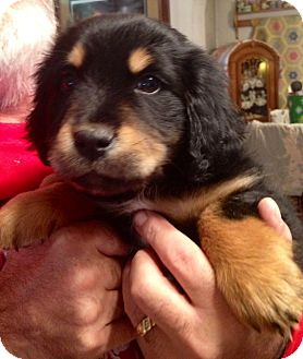 waterbury, CT - Bernese Mountain Dog  Meet Theodore a Pet for Adoption
