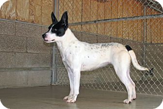 Blue Heeler Mix Dog for adoption in Ruidoso, New Mexico - Peanut