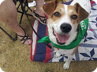 Indianapolis in beagle meet peggy sue a dog for adoption adopted altavistaventures Images