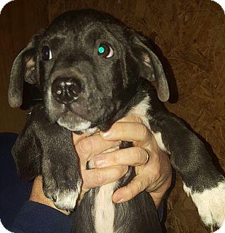 Border Collie/Labrador Retriever Mix Puppy for adoption in Trenton, New Jersey - Travis