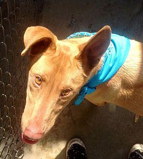 Adopt A Pet :: Miles, 2 yr. Pharaoh Hound,  - Corona, CA