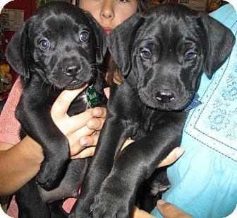 Humble Tx French Bulldog Meet Doodlebugs Pups A Pet For Adoption