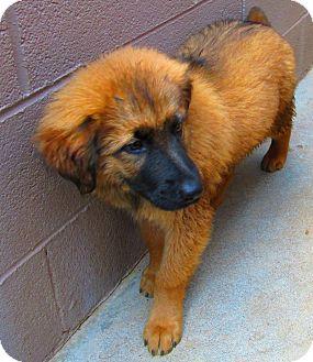 Woodlyn Pa Shepherd Unknown Type Meet Bam Bam A Pet For Adoption