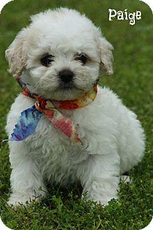 Glastonbury, CT - Poodle (Toy or Tea Cup)  Meet Paige a Pet