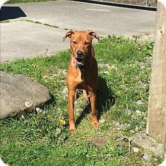 Adopt A Pet :: Remington  - Seattle, WA