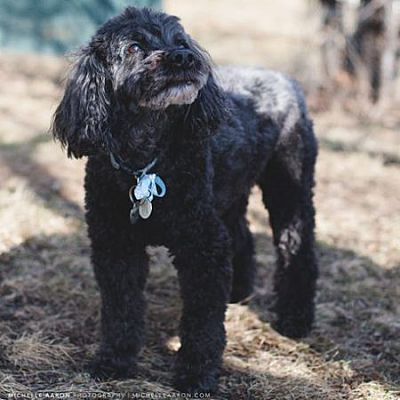 Edmonton Ab Cockapoo Meet Magee Stone A Pet For Adoption