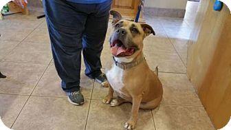 Adopt A Pet :: Blubelle  - Phoenix, AZ
