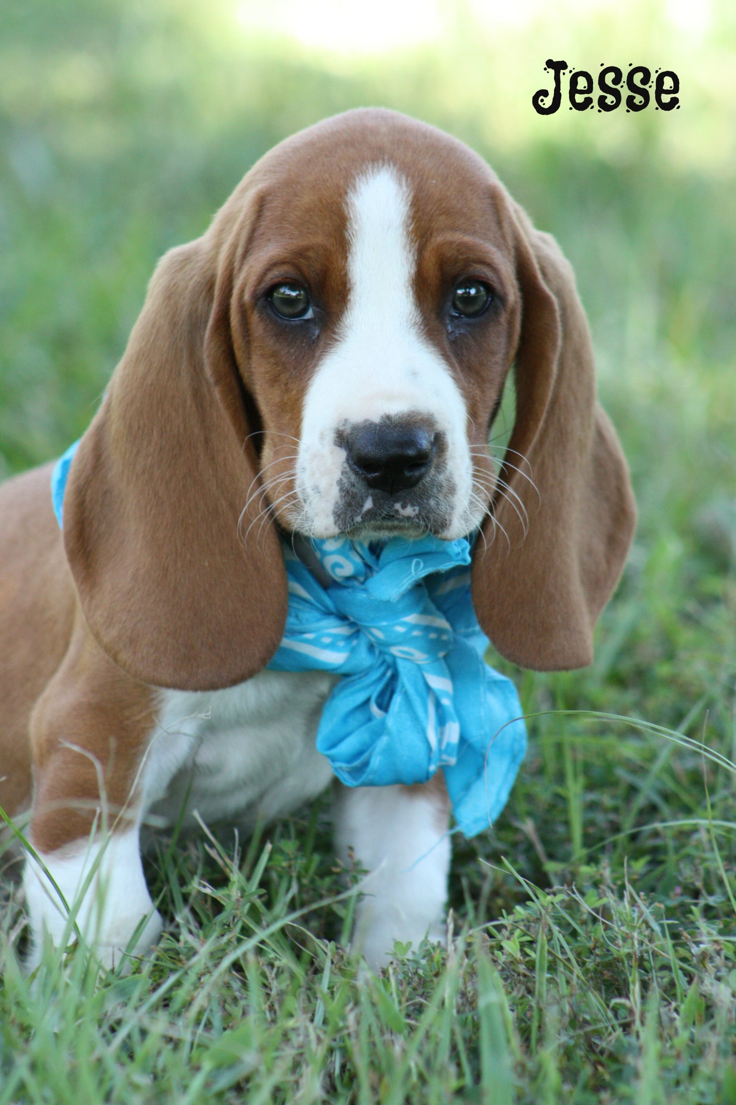 Brattleboro Vt Basset Hound Meet Bassett Puppies A Pet For Adoption