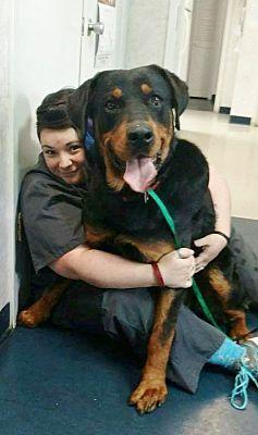 Memphis Tn Rottweiler Meet Bear A Pet For Adoption