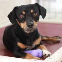 Adopt A Pet :: BLACKIE - Kyle, TX