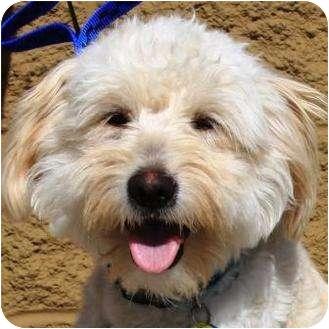 Gilbert Az Wheaten Terrier Meet