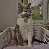 Adopt A Pet :: Gazou (réservée) - Montreal, QC