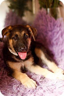 German Shepherd Dog Puppy for adoption in Auburn, California - Astro