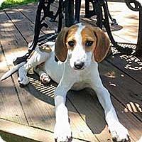 Adopt A Pet :: Norma's Pup Gendry - Chantilly, VA