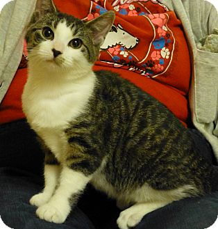 Domestic Shorthair Cat for adoption in Carlisle, Pennsylvania - Donna