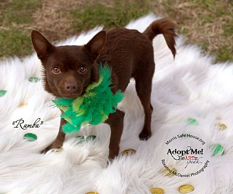 Lubbock Tx Chihuahua Meet Rumba A Pet For Adoption