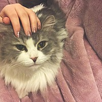 Merlin's Hope Ragdoll and Maine Coon Rescue in Ennis, Texas