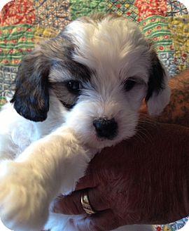 Waterbury Ct Shih Tzu Meet Elly A Pet For Adoption