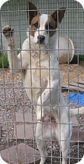 German Shepherd Dog Mix Dog for adoption in Tahlequah, Oklahoma - Shia