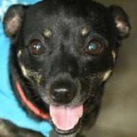 Adopt A Pet :: Shannon - Sarasota, FL