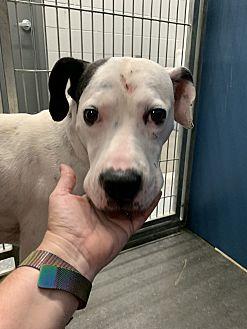 Adopt A Pet :: Tyson  - Henderson, NC