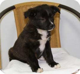 Border Collie/Labrador Retriever Mix Puppy for adoption in Marlton, New Jersey - Lucy