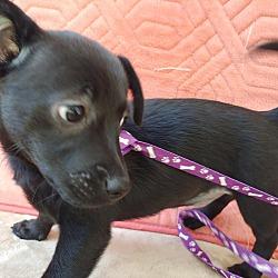 Texas Chihuahua Rescue - San Antonio & Hill Country in San