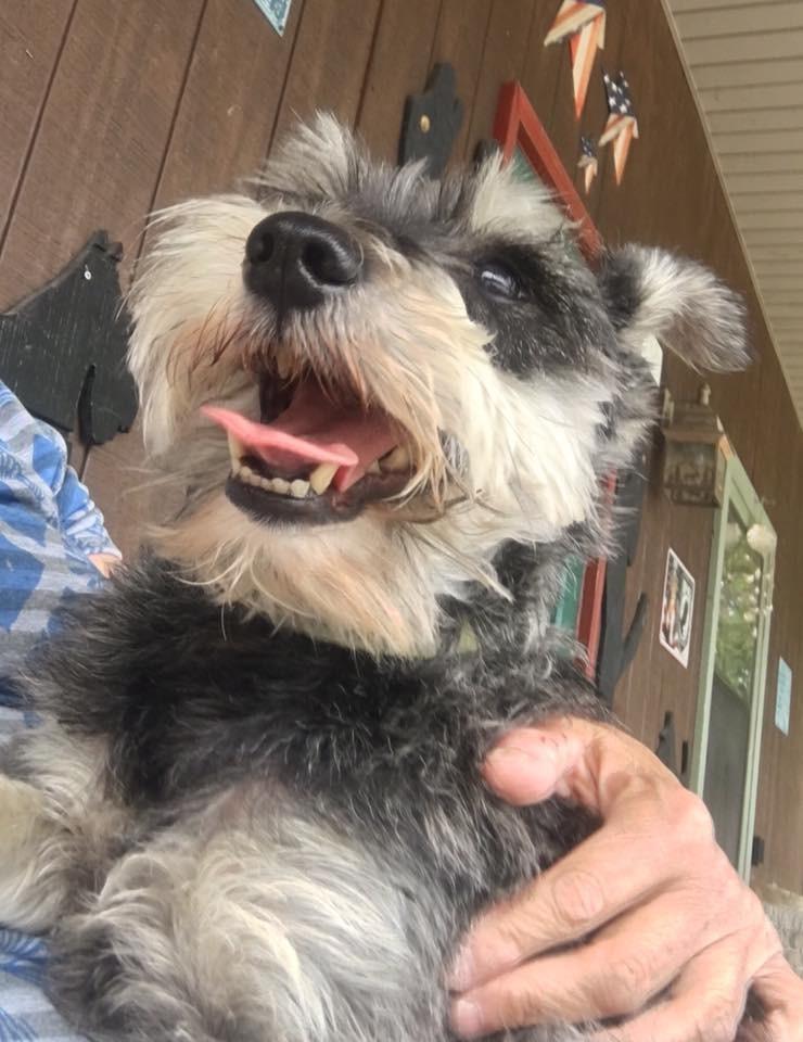 Syracuse Ny Schnauzer Miniature Meet Otto A Pet For Adoption