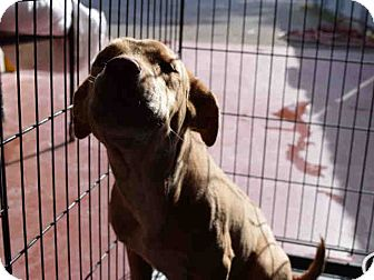 Labrador Retriever Mix Puppy for adoption in Newnan City, Georgia - Puddles