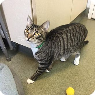 Domestic Shorthair Cat for adoption in Westminster, California - Kale