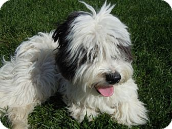 meridian id poodle miniature meet jacobi a dog for adoption