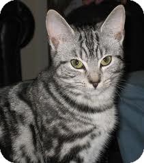 Domestic Shorthair Cat for adoption in Lancaster, Massachusetts - Zelda