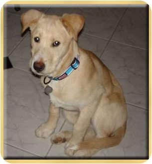 scottsdale az labrador retriever meet augie a dog for