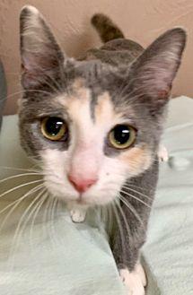 Adopt A Pet :: PURRDY  - Northwood, NH