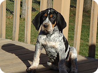 Appleton, WI - Bluetick Coonhound  Meet Nelson a Pet for Adoption