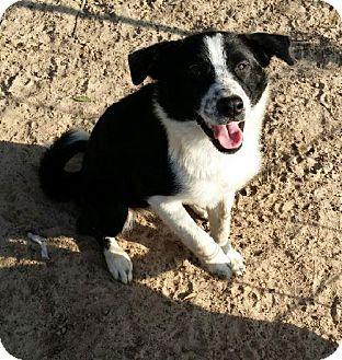 Roanoke Va Border Collie Meet Simone A Pet For Adoption