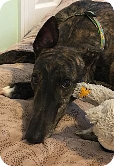 Greyhound Dog for adoption in Cape Coral, Florida - Paige