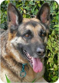 German Shepherd Dog Dog for adoption in Los Angeles, California - Franz von Scholl
