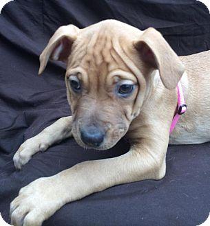 Labrador Retriever/German Shepherd Dog Mix Puppy for adoption in East Sparta, Ohio - Georgia