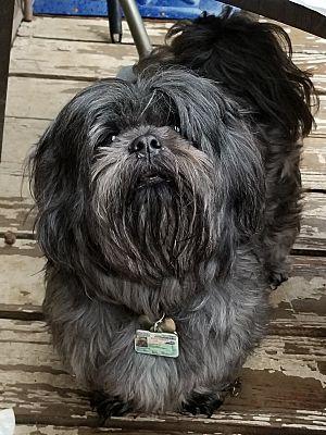 Lexington Ky Shih Tzu Meet Omari A Pet For Adoption