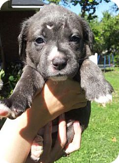 St Louis Mo Cane Corso Meet Cane Corso Mixed Pups A Pet For